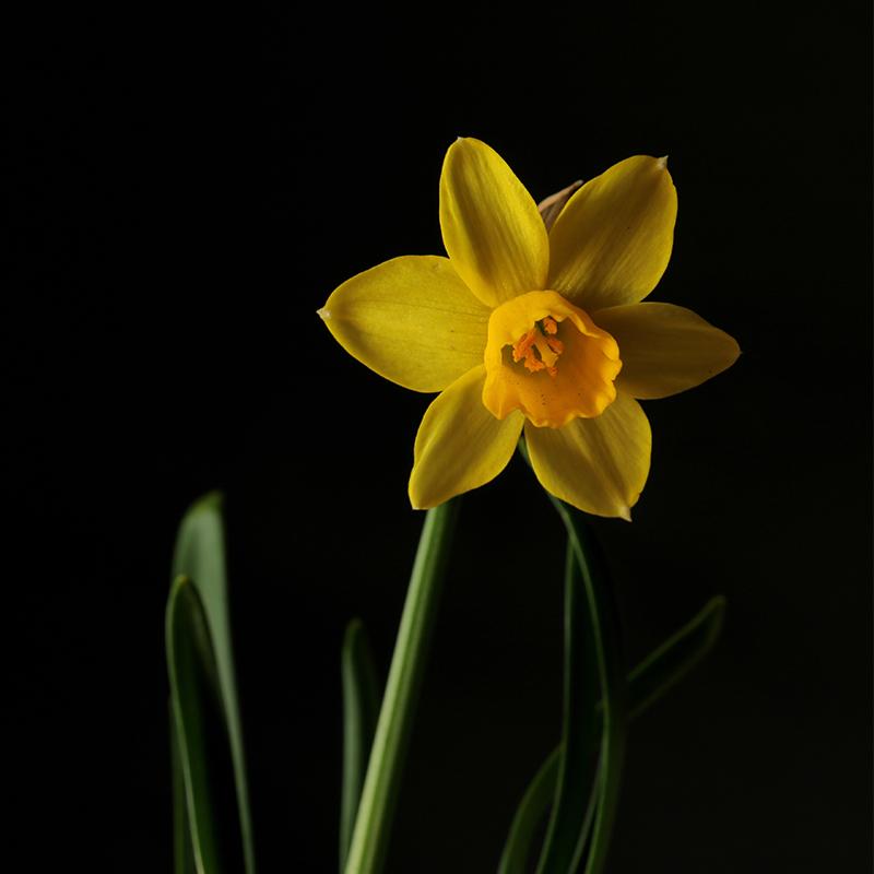 December Birth Flower - Narcissus