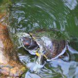 Turtle on a rock.