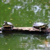 Turtles on a rock.